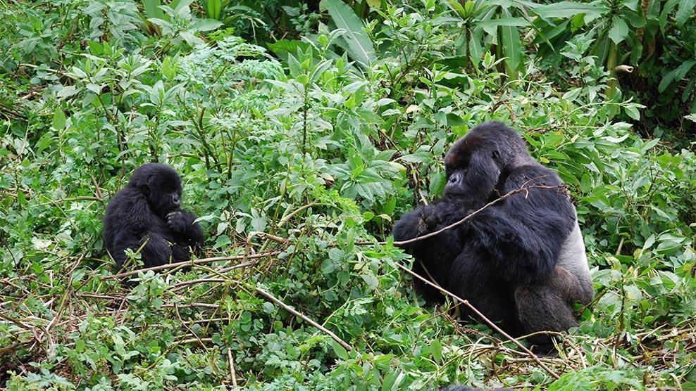 Vom Aussterben bedrohte Berggorillas