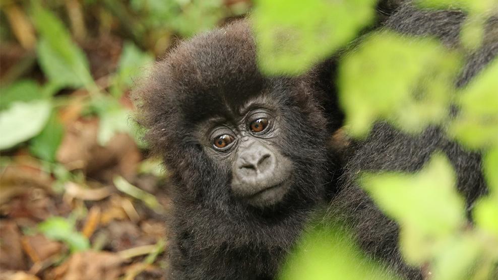 ...die verringerte Abholzung des Lebensraumes ist ein wichtiger Schritt für den Artenschutz der Berggorillas